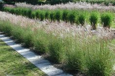 Ornamental grasses planted as hedge. They add structure to a garden though transparent.