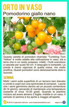 Pomodorino giallo nano