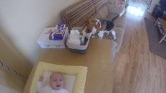 Un beagle aiuta la mamma a cambiare il pannolino