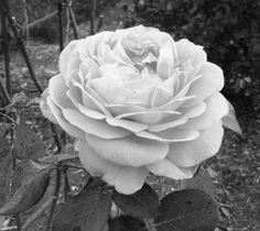 Delicate petals in full bloom