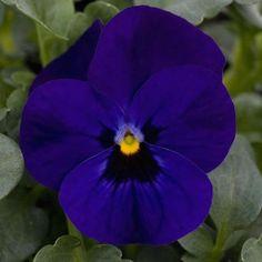 viola-sorbet-blue-blotch.jpg (600×600)