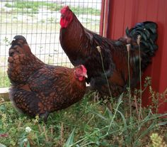 Red Laced Wyandotte Chicken Rooster and Hen- Cackle Hatchery