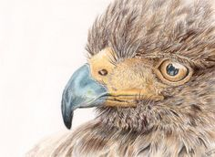ARTFINDER: Ed by Cate Wetherall - Eagle eye in watercolour pencils, love detailed work!