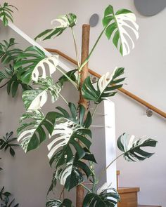 I really love the new spot of our gorgeous #monsteradeliciosavariegata Walking past it all the time because of the staircase allows me to observe it from various perspectives, something you simply can't if a plant sits in a corner. ☺️ It's always #monsteramonday in our livingroom! . . . #monstera #monsteradeliciosa #monsteravariegata #monsteralove #monsteralover #wewantmonsteraemoji #plantlover #plantlove #plantaddiction #plantsofinstagram #plantstagram #houseplant #houseplantclub #...