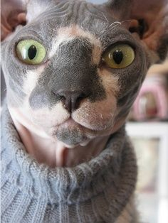 hairless kitty with sweater