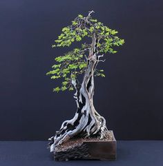 Yew (Taxus baccata) by Harry Harrington
