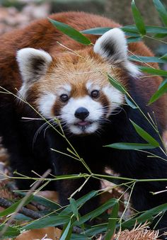 Red Panda (by Mark Dumont) Scary Animals, Nature Animals, Animals And Pets, Funny Animals, Cute Animals, Wild Animals, Cute Creatures, Beautiful Creatures, Animals Beautiful