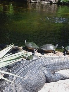 All the turtles were all lined up in row.