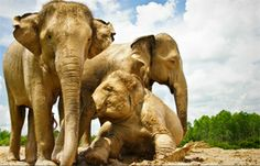 Volunteer Opportunities   Elephant Nature Park   Journey to Freedom   Save Elephant Foundation (surin project)