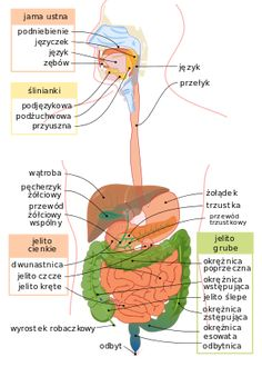 This Is Your Body Without Water (Infographic) - Dre Cardenas - Anatomie - Digestive System Anatomy, Human Digestive System, Digestive Organs, Human Body Facts, Salivary Gland, Muscle Imbalance, Human Anatomy And Physiology, Medical Anatomy, Body Systems