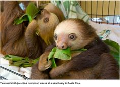 Baby two-toed sloth. Thanks to Nat'l Geographic Daily News
