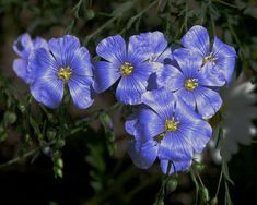 Flax flowers and plants