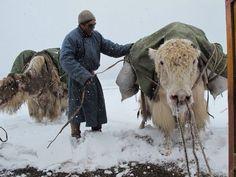 De pak yak in Mongolië