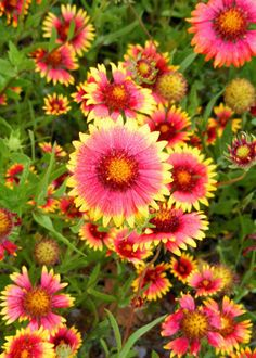 Indian Blankets  (Photo by: Gay Gambs Kent)  Indian Blanket Flower - nectar plant
