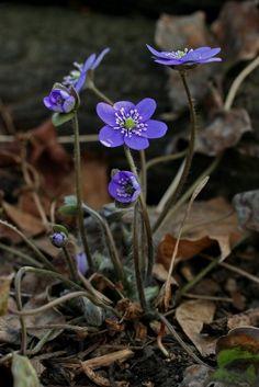 erste blüten im garten - hepatica - leberblümchen. sie sind mit, Garten und erstellen