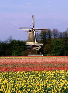 Windmills and tulips - it doesn't get more Dutch than that! Bike and barge tour.