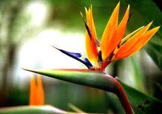 Flor pajaro del paraiso
