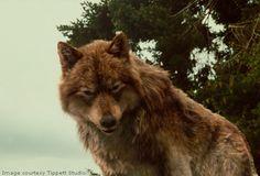 wolf twilight | Jacob Wolf - The Twilight Saga