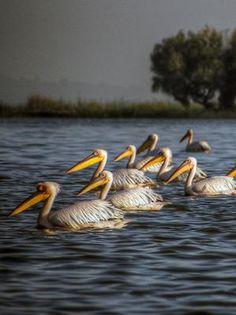 Pelicans on Lake Tana, Ethiopia's Northern Loop