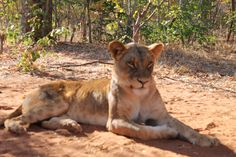 Mount Zion Tours and Travels offers you the ultimate Zambezi National Park safari in an unspoilt wilderness environment. Panther, Wilderness, Safari, National Parks, Environment, Africa, Tours, Travel, Animals
