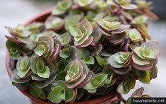 Turtle Vine houseplant