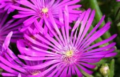 mesembryanthemum delosperma cooperi