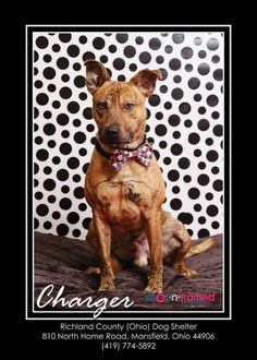 CHARGER - Pit Bull Terrier Mix Richland County Dog Warden Mansfield, Richland County, Ohio