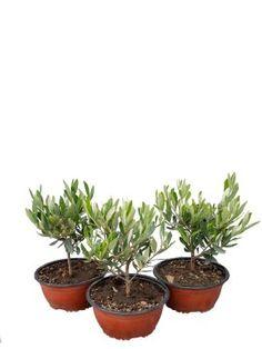 10x Viola Wisteria Flower Mini Albero semi Bonsai dell/'interno ornamentali