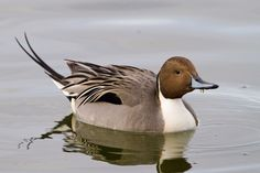 The Pintail or Northern Pintail (Anas acuta) is a duck with wide geographic distribution that breeds in the northern areas of Europe, Asia and North America. It is migratory and winters south of its breeding range to the equator.