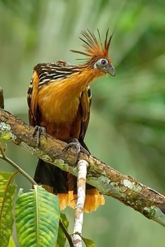 The Hoatzin (Opisthocomus hoazin), also known as the Hoactzin, Stinkbird, or Canje Pheasant, is a species of tropical bird found in swamps, riparian forest and mangrove of the Amazon and the Orinoco delta in South America.