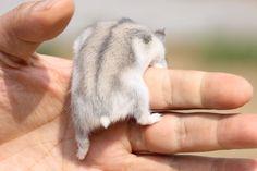 Adorable hamster butt Robo Dwarf Hamsters, Funny Hamsters, Hamster Care, Baby Hamster, Cute Baby Animals, Animals And Pets, Funny Animals, Chinchilla Cute, Indoor Rabbit