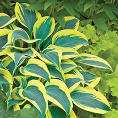 Buy Hosta Autumn Frost Perennial Plants Online. Garden Crossings Online Garden Center offers a large selection of Hosta Plants. Shop our Online Perennial catalog today!
