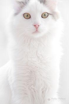 https://flic.kr/p/8YXvBA   Yoda   My Turkish Van cat, i love this guy :)