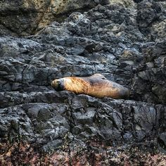 Seals are lazy I think.☺ The whale was a short distance from the Island Salango where we were snorkeling. Life-in-Ecuador.com Snorkeling, Seals, Ecuador, Distance, Lazy, Wildlife, Island, Animals, Instagram