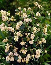 Galaxy Snowberry for Sale | Fast-Growing-Trees.com