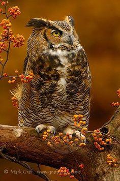 Great Horned Owl: