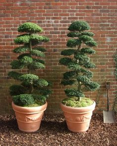 Palmbrokers - Catalogue - Real Topiary Plants for Hire Topiary Plants, Topiary Garden, Topiary Trees, Garden Planters, Container Plants, Container Gardening, Outdoor Plants, Outdoor Gardens, Cloud Pruning
