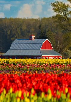 Tulip Festival, Washington State: Someday I want to see this! Beautiful World, Beautiful Places, Beautiful Pictures, Between Two Worlds, Around The Worlds, Tulip Festival Washington, Flower Carpet, Country Barns, Country Life