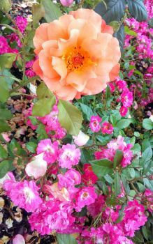 růže 1. (77 pieces)