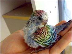 Rainbow! My parakeets are boring lol.