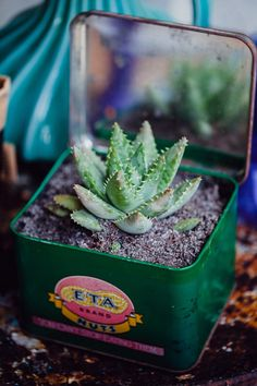 mini succulent in tin