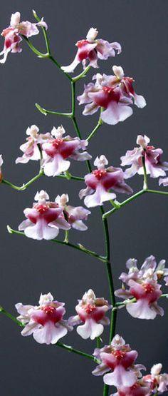 Oncidium Orchids | Oncidium Rosy Sunset 'Rosebud' | Orchids Online