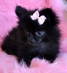 The Pomeranian type advantages from a few various designs of toys based on the . Here are some fast suggestions on how to bond with your Pomeranian . Pomchi Puppies, Teacup Puppies, Cute Puppies, Pomeranians, Pet Dogs, Dog Cat, Doggies, Cute Pomeranian, Alpha Dog