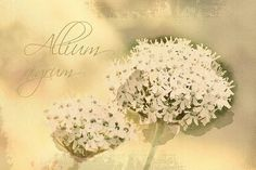 Allium nigrum  Digital Download Art botanical print floral