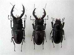 頭部はオスで、体や脚はメスの特徴を持つ雌雄同体のノコギリクワガタ(中央)。左は通常のオス、右がメス(千葉県立成田西陵高校の清水敏夫教諭提供)(写真:産経新聞)