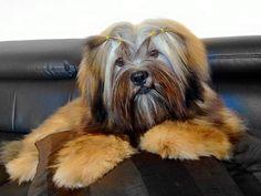 Handsome lhasa puppy
