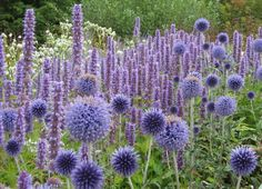 Agastache Blue Fortune planted with Echinops ritro Veitch's Blue