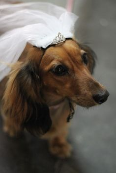 Don't know when Amy will marry.. maybe I should start a new bulletin board for the dog's wedding.  ?? hmmmm...... #dachshund