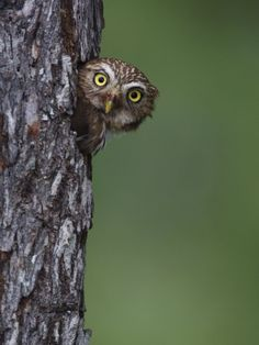 a pygmy owl -  this page has owl nest boxes and also cameras for observing owls