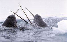 """I always thought these were imaginary: The Narwhal (meaning """"corpse whale"""" in Old Norse) is a rarely seen Arctic whale. This social whale is known for the very long tooth that males have. Very little is known about this whale. Beautiful Creatures, Animals Beautiful, Cute Animals, Polar Animals, Animals Images, Polar Bear, Narwhal Pictures, Whales, Dolphins"""